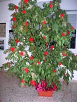 un particolare albero di Natale presso l'Istituto Comprensivo A. Manzoni - 20 dicembre 2007  - Buseto palizzolo (1210 clic)