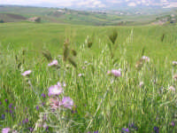 la campagna a primavera - 3 maggio 2009    - Buseto palizzolo (1755 clic)