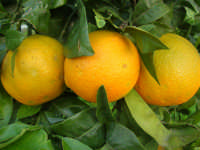 arance - 27 dicembre 2007  - Alcamo (2034 clic)