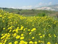 la campagna a primavera - 3 maggio 2009  - Buseto palizzolo (1628 clic)
