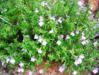 Riserva Naturale Orientata Zingaro - flora - 24 febbraio 2008  - Riserva dello zingaro (1644 clic)