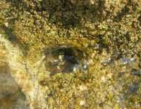 Golfo del Cofano - vita sugli scogli: particolare - 27 agosto 2009  - San vito lo capo (2008 clic)