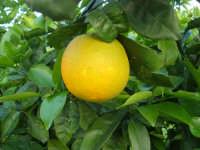 arancia - 27 dicembre 2007  - Alcamo (1662 clic)