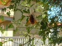 l'ape ed il gelsomino - 18 agosto 2009  - Alcamo (2288 clic)