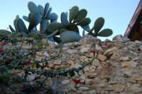 fico d'India dietro al muro - 3 marzo 2008  - Scopello (1758 clic)