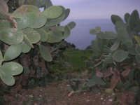 ficodindia e vista sul golfo di Castellammare - 11 aprile 2009   - Scopello (2147 clic)