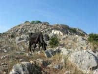 mucche al pascolo tra le rocce - 12 ottobre 2008   - Custonaci (1491 clic)