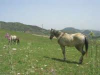 cavalli al pascolo - 17 maggio 2009  - Calatafimi segesta (1907 clic)