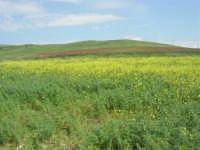 la campagna a primavera - 3 maggio 2009    - Buseto palizzolo (1681 clic)