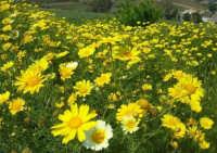 la campagna a primavera - 3 maggio 2009  - Buseto palizzolo (1678 clic)