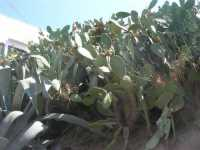 agave e ficodindia - 8 agosto 2009   - Alcamo marina (2529 clic)