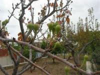 pirazzola fuori tempo - Alle porte dell'inverno l'albero quasi spoglio dà i frutti! - 2 dicembre 2008   - Alcamo (1968 clic)