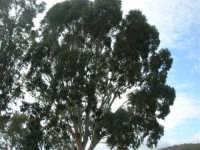 Bosco di Scorace - eucalipto - 18 gennaio 2009  - Buseto palizzolo (2622 clic)