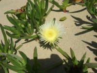 zona Battigia - dalla sabbia una pianta grassa ed il suo delicato fiore - 13 maggio 2007  - Alcamo marina (4350 clic)
