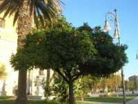 Piazza Angelo Scandaliato - nel giardino della Chiesa di San Domenico - 7 dicembre 2009   - Sciacca (2422 clic)