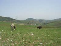 cavalli al pascolo - 17 maggio 2009  - Calatafimi segesta (1625 clic)