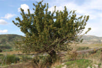 albero di azzalora - 9 novembre 2008  - Ribera (3305 clic)
