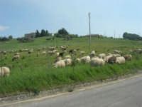 la campagna a primavera - gregge al pascolo - 3 maggio 2009  - Buseto palizzolo (1702 clic)