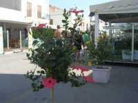 Via Savoia - 24 agosto 2009   - San vito lo capo (1630 clic)