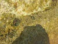 Golfo del Cofano - vita sugli scogli: particolare - 27 agosto 2009  - San vito lo capo (2145 clic)