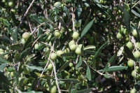 olive - 2 ottobre 2007  - Alcamo (2144 clic)