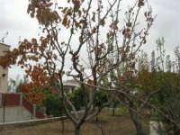 pirazzola fuori tempo - Alle porte dell'inverno l'albero quasi spoglio dà i frutti! - 2 dicembre 2008   - Alcamo (2124 clic)