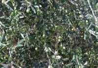 olive - 2 ottobre 2007  - Alcamo (1879 clic)