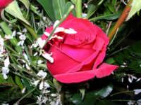 Rose e fiori (da Nicola per Lidia) - 4 febbraio 2006  - Alcamo (1354 clic)