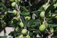 olive - 2 ottobre 2007  - Alcamo (2003 clic)