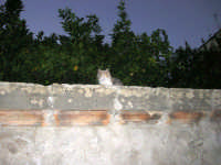 alberi di agrumi oltre il muro della FONTANA  PONTE in via Libertà . . . ed il micio sta a guardare - 9 ottobre 2007   - Vita (4797 clic)
