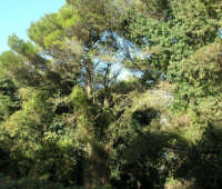 Bosco d'Alcamo - Riserva Naturale Orientata - sul monte Bonifato - 8 dicembre 2006  - Alcamo (915 clic)