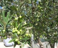 olive - 2 ottobre 2007  - Alcamo (1440 clic)