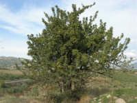 albero di azzalora - 9 novembre 2008   - Ribera (9493 clic)