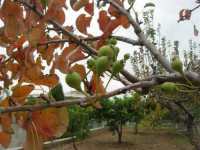 pirazzola fuori tempo - Alle porte dell'inverno l'albero quasi spoglio dà i frutti! - 2 dicembre 2008   - Alcamo (2063 clic)