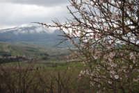 neve sui monti di Castellammare - mandorlo in fiore - 15 febbraio 2009   - Alcamo (2719 clic)