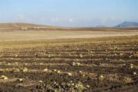 GALLITELLO - campo di meloni gialli: ciò che è rimasto - 2 ottobre 2007  - Alcamo (1290 clic)