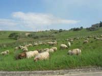 la campagna a primavera - gregge al pascolo - 3 maggio 2009  - Buseto palizzolo (1908 clic)