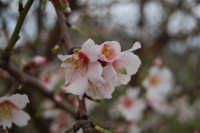 mandorlo in fiore - 15 febbraio 2009   - Alcamo (2334 clic)