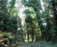 Bosco d'Alcamo - Riserva Naturale Orientata - sul monte Bonifato - 8 dicembre 2006  - Alcamo (898 clic)