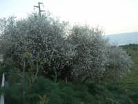 mandorlo in fiore - 24 febbraio 2008  - San vito lo capo (1134 clic)