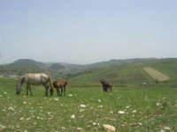 cavalli al pascolo - 17 maggio 2009  - Calatafimi segesta (1857 clic)