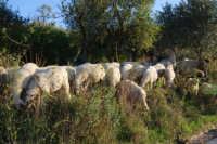 gregge di pecore - 2 ottobre 2007  - Poggioreale (1480 clic)