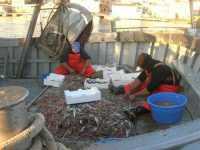 selezione del pesce al rientro dalla pesca - 7 dicembre 2009   - Sciacca (4456 clic)