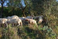 gregge di pecore - 2 ottobre 2007  - Poggioreale (1623 clic)