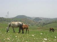 cavalli al pascolo - 17 maggio 2009  - Calatafimi segesta (2580 clic)