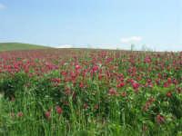 la campagna a primavera - sulla - 3 maggio 2009  - Buseto palizzolo (1645 clic)