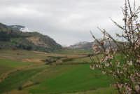 mandorlo in fiore e monte Bonifato innevato - 15 febbraio 2009   - Alcamo (2381 clic)