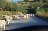 gregge di pecore - 2 ottobre 2007  - Poggioreale (1393 clic)