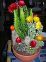 mini composizione piante grasse - 14 ottobre 2009   - Alcamo (11401 clic)
