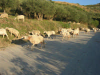 gregge di pecore - 2 ottobre 2007  - Poggioreale (1443 clic)